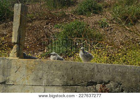 Seagulls Breeds On Alcatraz Island Seagulls Reserve. Travel Holidays Animal Life. July 1, 2017. Alca