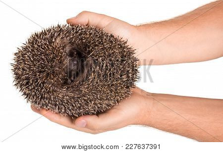 Prickly Hedgehog Curled Into A Ball In Hands Of Men, Isolated On White Background