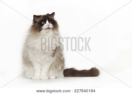 Fluffy Beautiful White Cat Ragdoll With Blue Eyes Posing While Sitting On Studio White Background. T