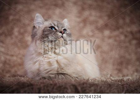 super cute furry cat lying down on fur background in studio