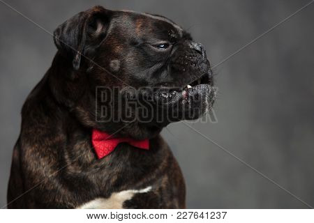 side portrait of a killer boxer dog wearing red bowtie
