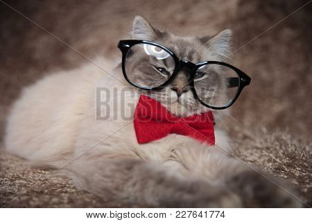 elegant adorable cat is wearing glasses and red bowtie , lying down on a furry studio background