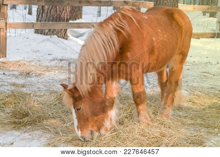 The Horse Of Red Color Breed Of Heavy Horse Eats Hay In A Wooden Corral In The Winter, Close-up