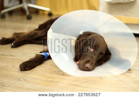 Brown Sick Dog Flat Coated Retriever With A Collar Around His Neck And A Banded Paw