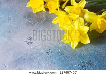 Easter Fresh Yellow Daffodil Flowers On Gray Background