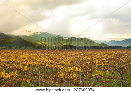 Grape Crops At Elqui Valley, Coquimbo Region, Chile