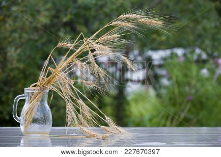 Closeup Of Glass Jar With Ripe Ears On A Wet Table In The Garden After The Rain. Outdoors. Vase With