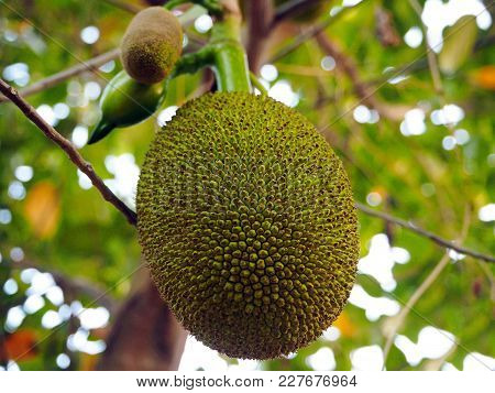 A Young Green Jackfruit In The Garden