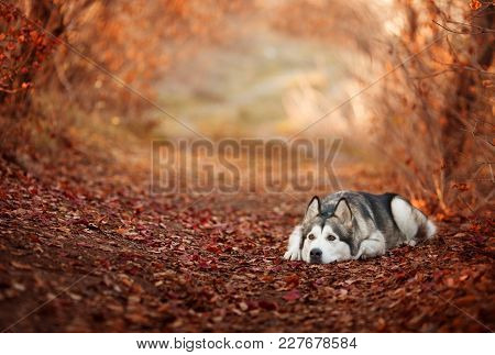 Cute Dog Alaskan Malamute Lying On Autumn Leaves