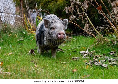 Black And Grey Haired Small Pig
