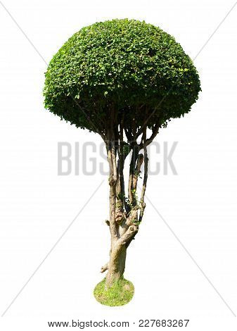 Siamese Rough Bush Isolate On White Background With Clipping Path, Tooth Brush Tree