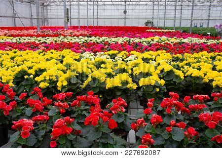 Plantation Flower Begonia In A Pot . Commercial Cultivation Of Flowers In A Greenhouse