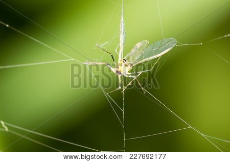 A Fly In The Web In Nature. Macro .
