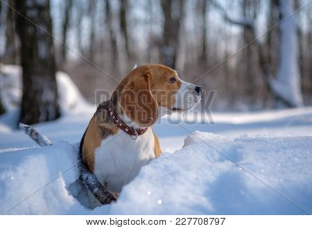 Portrait Of Beagle Dog In Winter Snow-covered Forest On A Sunny Day