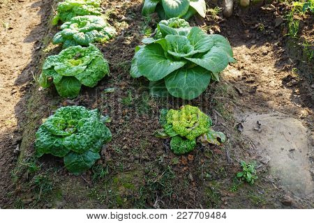 Bed Of Cabbage And Salad Different Sizes