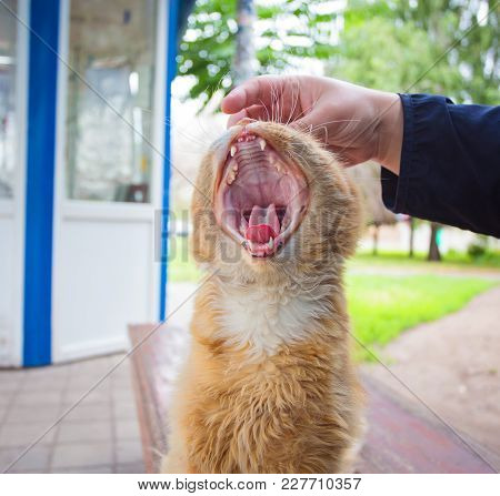 Gaping Cat Close-up. A Cat With An Open Mouth In The Process Of Yawning