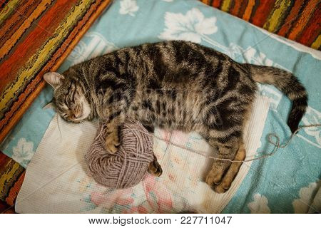 Cute Adult Tabby With Red Yard Ball Over Blue Background. Focus On The Cats Eyes