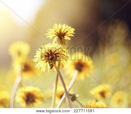 Yellow Flowers Of A Dandelion In The Field.