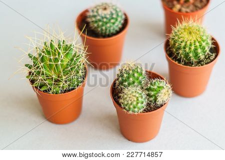 Home Succulent  Plants  In Small Pots, On Gray Background, Top View.