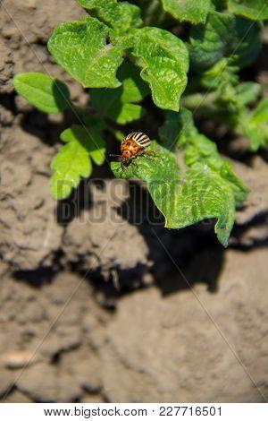 Colorado Potato Beetle (leptinotarsa Decemlineata On Young Potato Plants