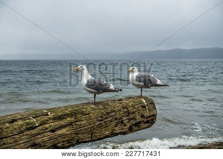 Two Seagulls Sit On A Driftwood Log.