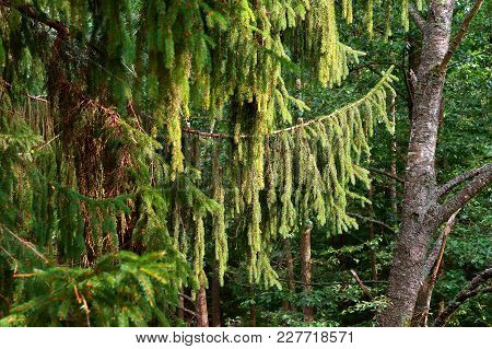 Hanging Branches Of Spruce Tree, Green Branches Of Conifer