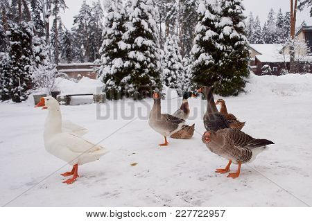 Their Farms. Geese In The Snow. Agriculture