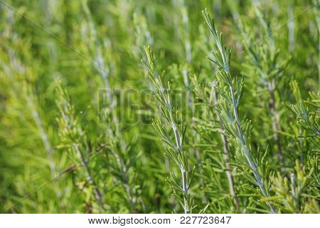 Nature Background - Thyme Plant