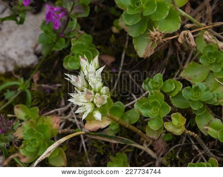 Blooming Stonecrop Sedum Oppositifolium On Rocks With Small White Flowers Macro, Selective Focus, Sh