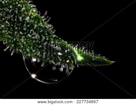 Water Drop Hanging From Cannabis Leaf