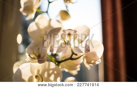 White orchid flower in front of window. Transparent petals because of the sunlight, shadows of the branches on them. Close up view with details, blurred background.