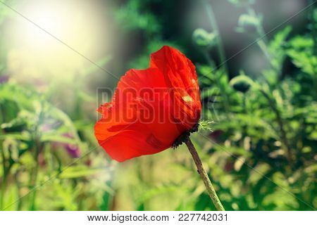 Red Poppy On Green Weeds Field. Poppy Flowers.close Up Poppy Head. Red Poppy.red Poppy Flowers Field