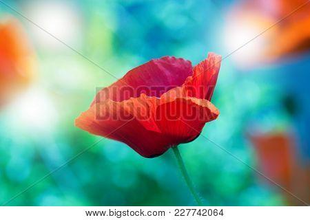 Red Poppy On Green Weeds Field. Poppy Flowers.close Up Poppy Head. Red Poppy.red Poppy Flowers Field