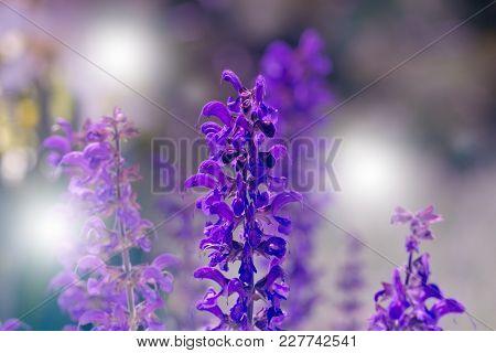 Beautiful Violet Flowers.little Summer Flower. Flowers In The Garden At Springtime. Little Purple Fl