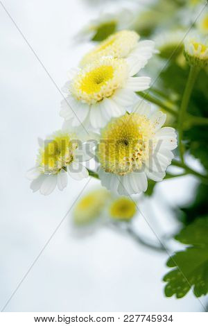 White Daisies With A Yellow Center,  Bouquet For Decorating  Holiday