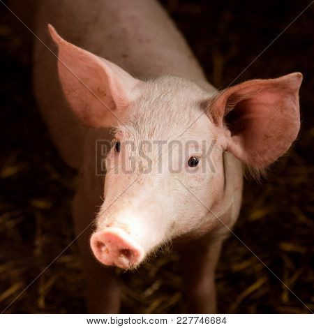 Animal Portrait Of Cute Young Pig In Sty, Agriculture Or Swine Breeding Concept.