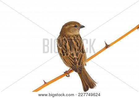 House Sparrow (passer Domesticus) Sitting On A Rose Branch With Thorns (isolated On A White Backgrou