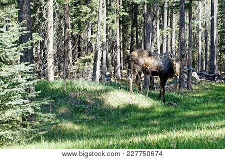 Picture Of A Moose In Bragg Creek, Alberta, Canada.