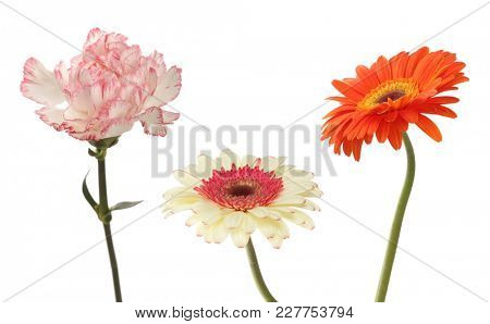Carnation and gerbera flower isolated on white. Collection.