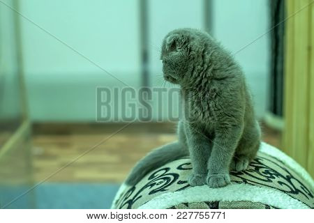 Thoroughbred Pedigree Cat Scotch British Breed With Ash Color And Furry Fluffy Sits Up Above Turned