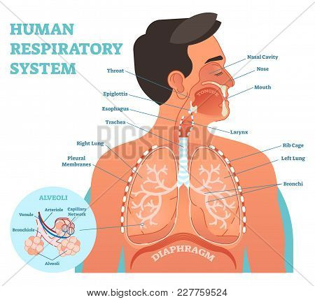 Human Respiratory System Anatomical Vector Illustration, Medical Education Cross Section Diagram Wit