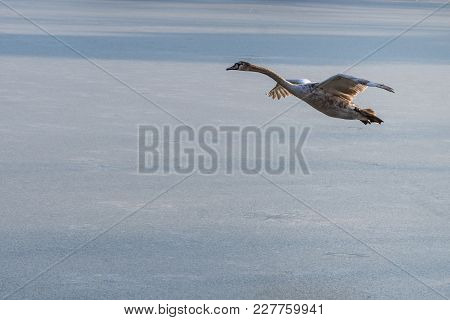 A Young Grey Mute Swan Flying Around Above A Frozen Lake