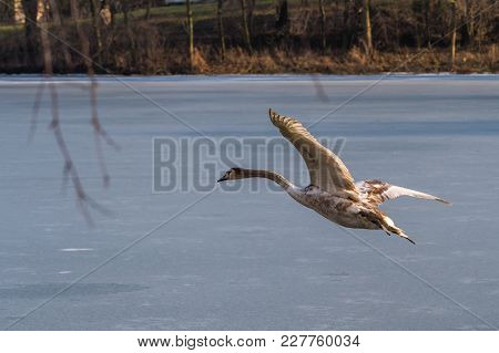 A Young Grey Mute Swan Flying Around Over A Frozen Lake