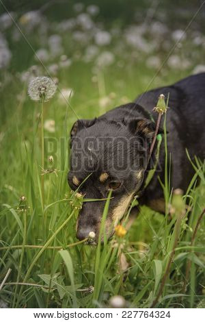 Cute Little Black Puppy Smelling The Tall Grass, Covered With White Dandelion Blow Leaves