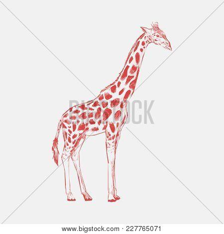 Illustration drawing style of giraffe