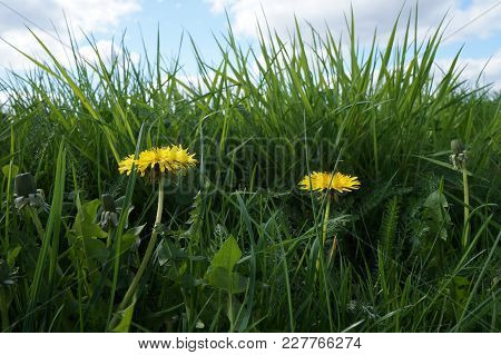 Yellow Dandelion Flowers (taraxacum Officinale). Dandelions Field Background On Spring Sunny Day.