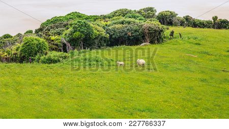 Sheep And Lamb Peacefully Live In The Natural New Zealand Green Grass Meadow Field Near The Sea Beac