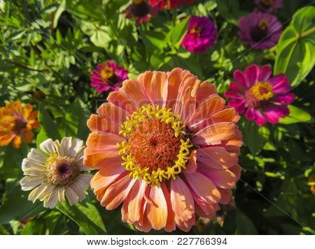 Beautiful Zinnia Flowers. Close Up View Of Zinnia Flowers  In The Summer Garden.