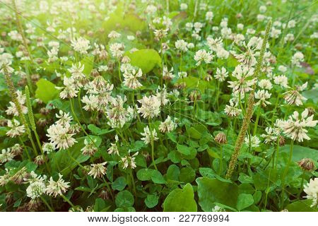 Beautiful Clover Meadow. White Clover Field. Natural Background.