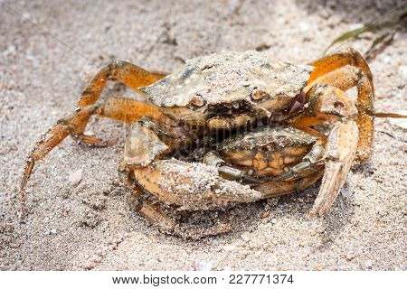 Big And Small Brown Yellow Crabs On The Sand